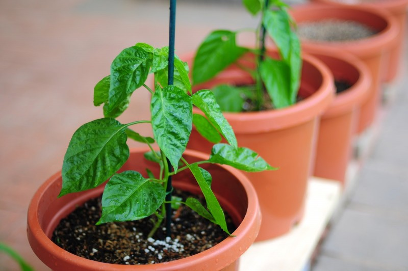 growing_chillies_fertilizer