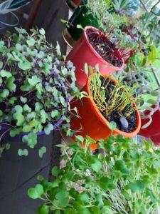 Microverdes cultivados em vasos com sementes do plano microhortas