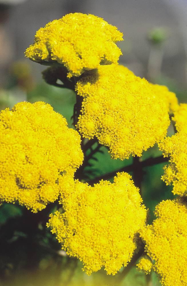 ageratum amarelo